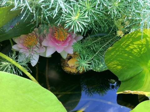 Close-up of two water lilies shaded by other nearby plants